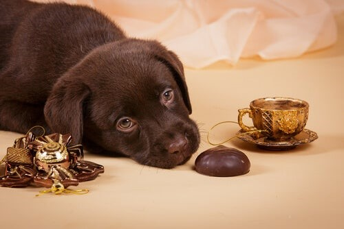 Intoxicación por chocolate