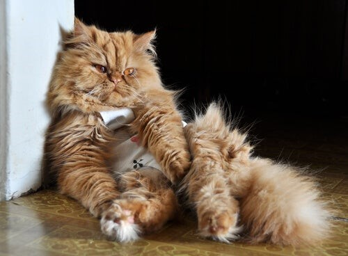 Los Gatos y el COVID