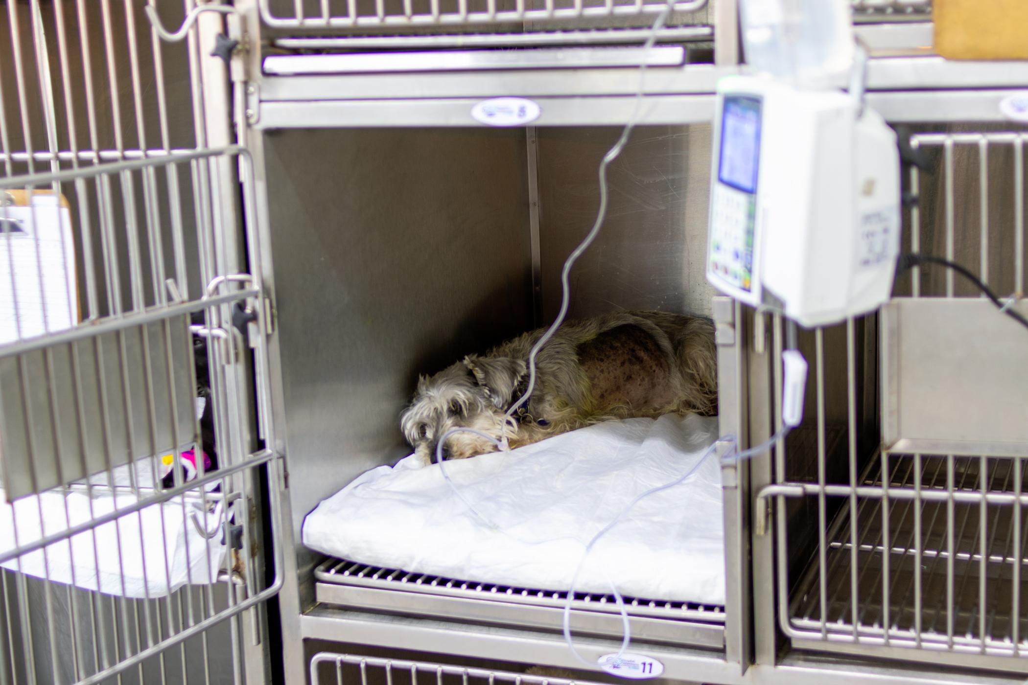 Hospitalizacion canina