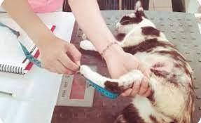 Talla y Peso ideal en Gatos