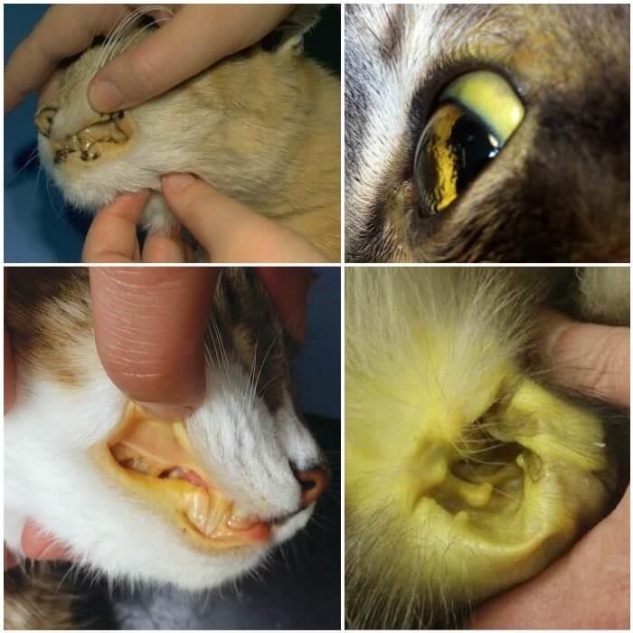 Riesgos de la Diabetes en Gatos