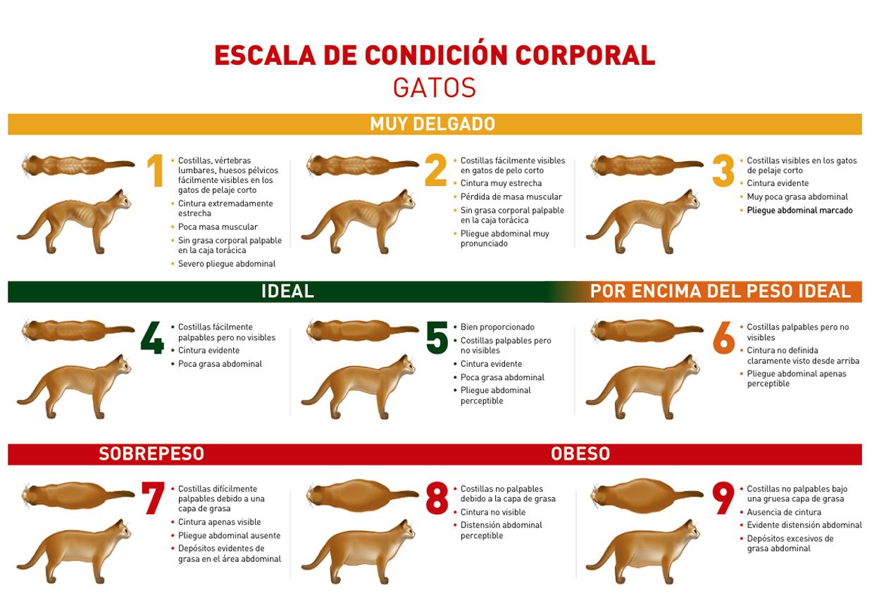 Escala de condición corporal en Gatos